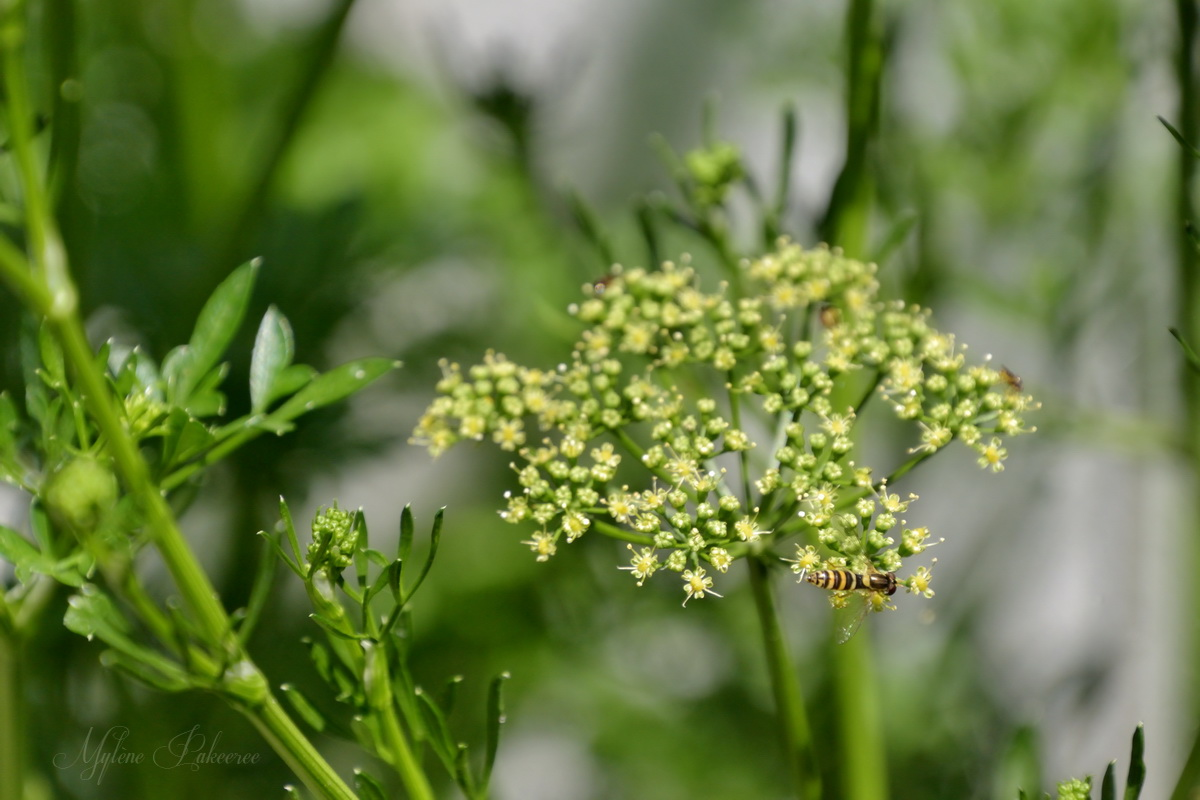 Hoverfly and flower parsley