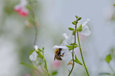 Bumblebee on a white sage