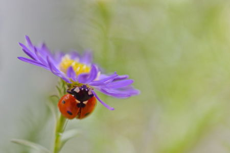 Ladybird on blue aster