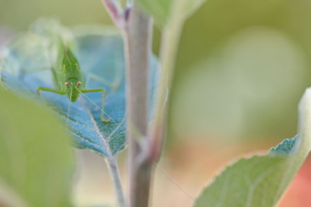 Grasshopper on an apple tree leaf