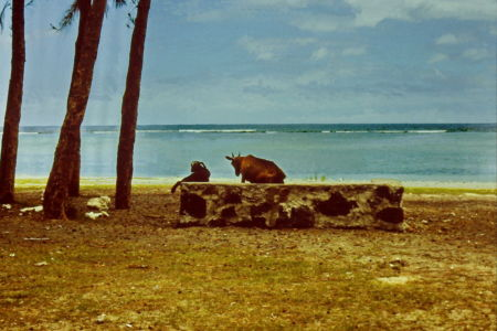 It wasn't surprising to meet these visitors on the beach then. Mauritius - 1983